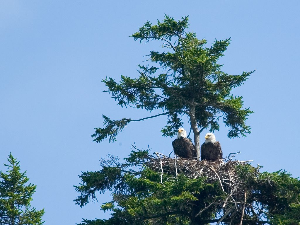 Two bald eagles in a nest on the approach to Cutler, Maine, but the young one is nowhere to be seen.  Click for next photo.