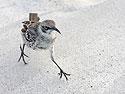 Mockingbird, Gardner Bay, Espanola Island, Galapagos, Dec.12, 2004.