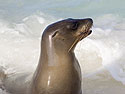 Sea lion, Gardner Bay, Espanola Island, Galapagos, Dec.12, 2004.