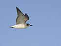 Gull, Gardner Bay, Espanola Island, Galapagos, Dec.12, 2004.