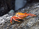 A more colorful crab, Gardner Bay, Espanola Island, Galapagos, Dec.12, 2004.