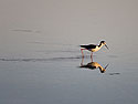Black-necked Stilt at sunset, Floreana Island, Galapagos, Dec.13, 2004.