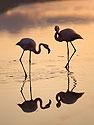 Flamingos, Floreana Island, Galapagos, Dec.13, 2004.