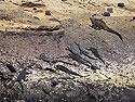 Marine iguanas, Punta Vicente Roca, Isabela Island, Galapagos, Dec.14, 2004.