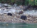 Black bears on the shore near Knight Inlet, British Columbia, September 2004.