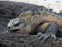 Marine iguana, Punta Espinosa, Fernandina Island, Galapagos, Dec.14, 2004.