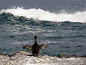 Flightless cormorant, Punta Espinosa, Fernandina Island, Galapagos, Dec.14, 2004.