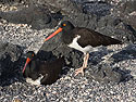 Nesting Oystercatchers, Punta Espinosa, Fernandina Island, Galapagos, Dec.14, 2004.