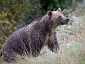 Grizzly bear mother, Knight Inlet, British Columbia, September 2004.