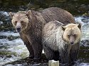 Grizzly bear mother and cub, Knight Inlet, British Columbia, September 2004.