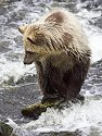 Grizzly bear yearling cub, Knight Inlet, British Columbia, September 2004.