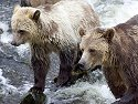 Grizzly bear yearling cub and mother, Knight Inlet, British Columbia, September 2004.