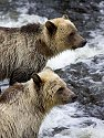 Grizzly bear yearling cubs, Knight Inlet, British Columbia, September 2004.