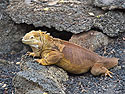 Land iguana, Charles Darwin Research Station, Santa Cruz Island, Galapagos, Dec.15, 2004.
