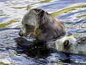 One bear has a fish and his sibling wants a share, Knight Inlet, British Columbia, September 2004.