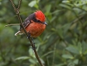 Vermillion Flycatcher, Santa Cruz Island, Galapagos, Dec.15, 2004.