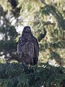 Young bald eagle, Knight Inlet, British Columbia, September 2004.