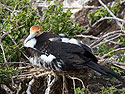 Frigate bird, Genovesa Island, Galapagos, Dec.16, 2004.
