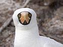 Nazca booby, Genovesa Island, Galapagos, Dec.16, 2004.