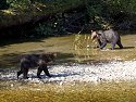 Grizzly bear seem to eye each other warily, but as the next photo shows they know each other, Knight Inlet, British Columbia, September 2004.