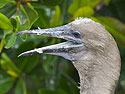 Red-footed booby, Genovesa Island, Galapagos, Dec.16, 2004.