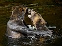 Grizzly bear siblings wrestling, Knight Inlet, British Columbia, September 2004.