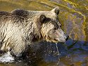 Grizzly bear, Knight Inlet, British Columbia, September 2004.