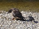 Raven tries to distract eagle from fish by pulling on its tail, Knight Inlet, British Columbia, September 2004.