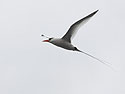 Red-billed Tropic Bird, Genovesa Island, Galapagos, Dec.16, 2004.