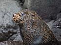 Fur seal, Genovesa Island, Galapagos, Dec.16, 2004.