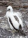 Older Nazca booby chick, Genovesa Island, Galapagos, Dec.16, 2004.