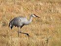 Sandhill crane, Bosque del Apache NWR, New Mexico, 2004.