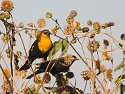 Yellow-headed blackbird, Bosque del Apache NWR.