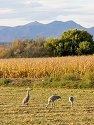 Sandhill cranes, Bosque del Apache NWR, New Mexico, 2004.