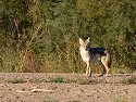 Coyote, Bosque del Apache NWR, New Mexico, 2004.
