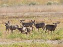 Herd of mule deer, Bosque del Apache NWR, 2004.