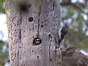 Acorn woodpeckers, Cave Creek Recreational Area, Arizona, 2004.
