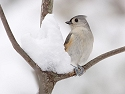 Tufted titmouse in the snow.