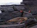 Sea lion snoozes as crabs skitter over rocks, Puerto Egas, Santiago Island, Galapagos, Dec.17, 2004.