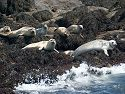 Seals hauled out on North Rock.