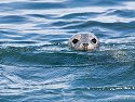 Kilroy was here.  Seal near North Rock, Gulf of Maine, 2004.