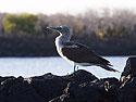 Blue-footed booby, Venecia islets, Galapagos, Dec.11, 2004.