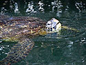Sea turtle, Venecia islets, Galapagos, Dec.11, 2004.