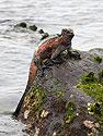 Marine iguana, Punta Suarez, Espanola Island, Galapagos, Dec.12, 2004.