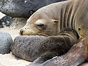 Sea lion and newborn pup, Punta Suarez, Espanola Island, Galapagos, Dec.12, 2004.
