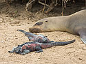 Sea lion and marine iguanas, Punta Suarez, Espanola Island, Galapagos, Dec.12, 2004.