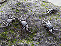 Immature crabs are still black to blend in the with lava, Punta Suarez, Espanola Island, Galapagos, Dec.12, 2004.