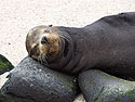 Sea lion uses a rock as a pillow, Punta Suarez, Espanola Island, Galapagos, Dec.12, 2004.