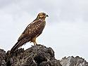 Galapagos Hawk, Punta Suarez, Espanola Island, Galapagos, Dec.12, 2004.