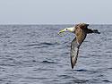 Albatross, Punta Suarez, Espanola Island, Galapagos, Dec.12, 2004.